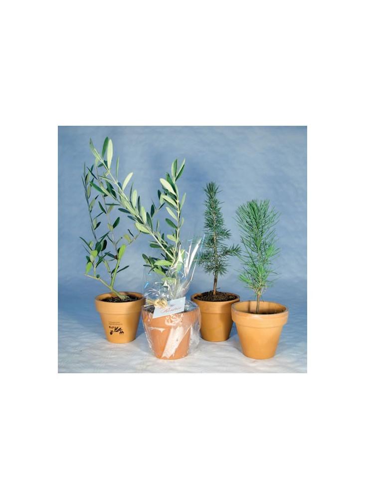Plante au choix dans pot en terre cuite  publicitaire