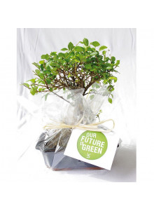 objet publicitaire - promenoch - Bonsaï ou Ficus  - Plantes Personnalisés