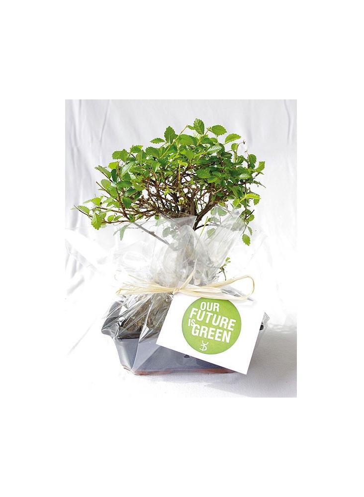 Bonsaï ou Ficus  publicitaire