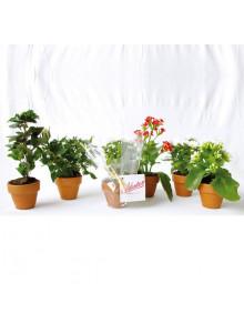 objet publicitaire - promenoch - Petite plante en pot personnalisable  - Plantes Personnalisés